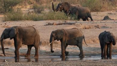 Photo of No Zimbábue, 11 elefantes morrem perto de reserva florestal